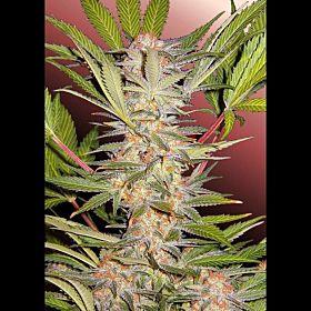 Sweet Seeds S.A.D. Fem