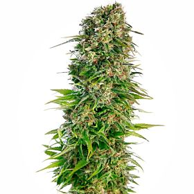 Seedsman Automatic Hindu Kush Feminized Seeds