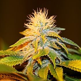 Seedsman Bubba Kush Feminized Seeds