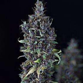 Seedsman Bulk Candy Cream Feminized Seeds