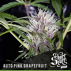 short stuff Auto Pink Grapefruit