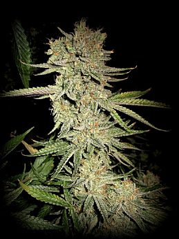 Sin City Seeds Dream N Sour