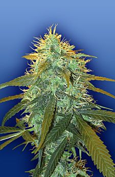 Flying Dutchmen Skunk #1 Feminised Seeds