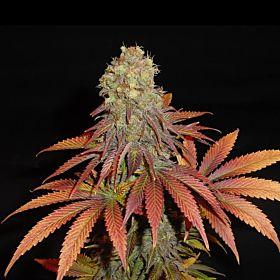 Soma Seeds G13 Haze X Citralah Regular Seeds