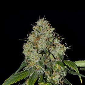EVA Seeds - White Dragon