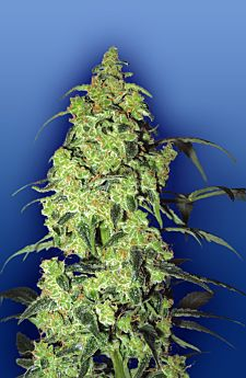 Flying Dutchmen White Widow Feminised Seeds