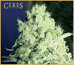 Ceres Seeds White Indica Feminised Seeds