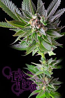 LaPlata Labs Seeds White VooDoo Regular Seeds