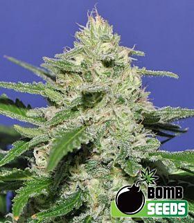 Bomb Seeds - Widow Bomb Regular