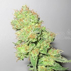 Medical Seeds Y Griega CBD