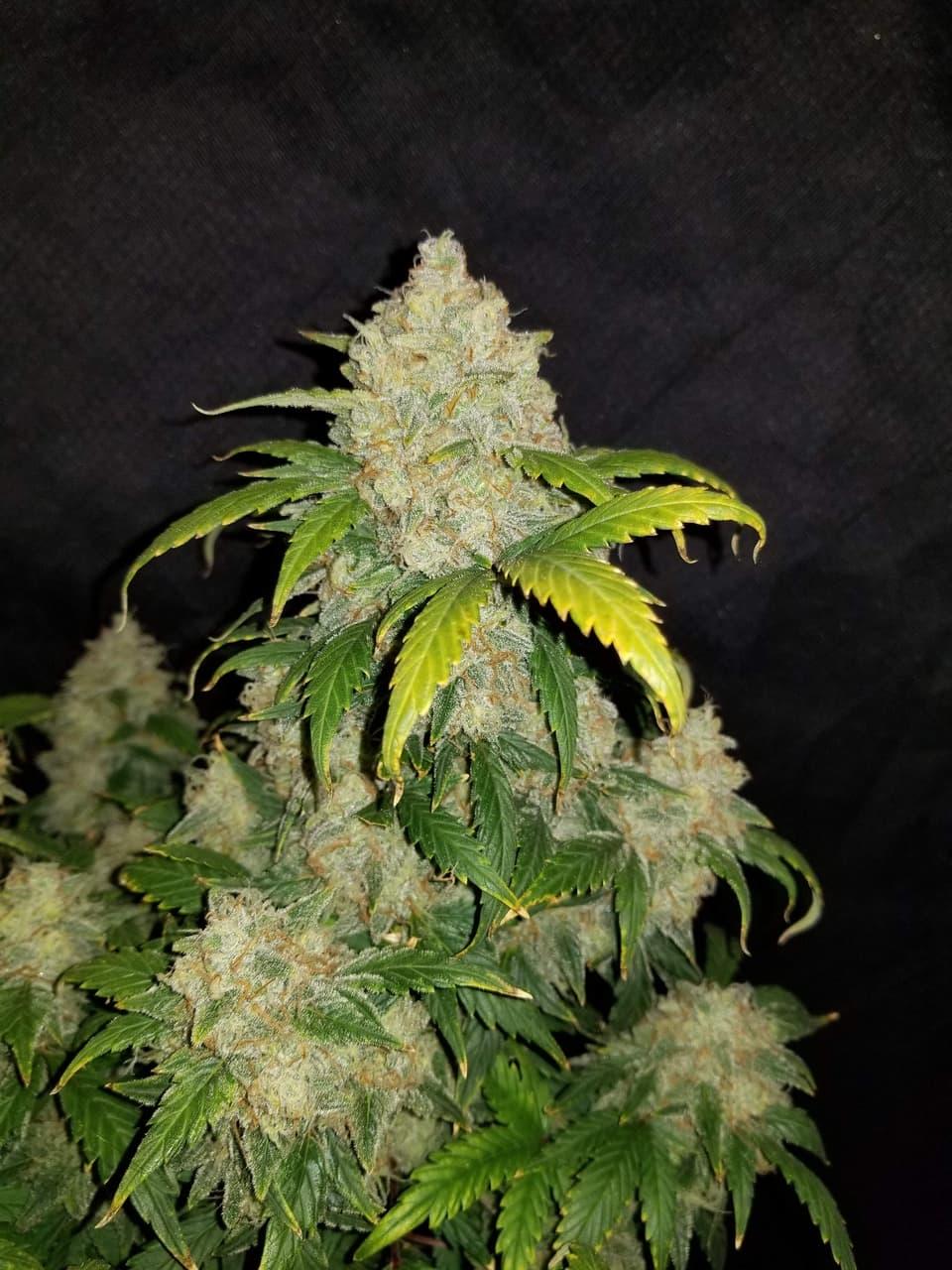 Zkittlez cannabis plant