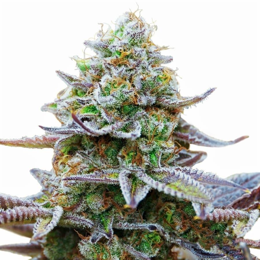 Gorilla Zkittlez cannabis plant