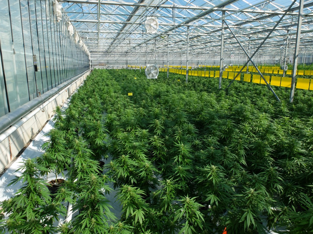 The Growth in Popularity of Growing Medical Marijuana