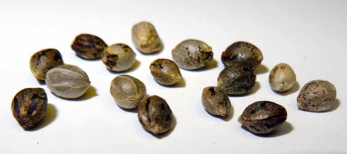 Marijuana Seeds for Sale Online