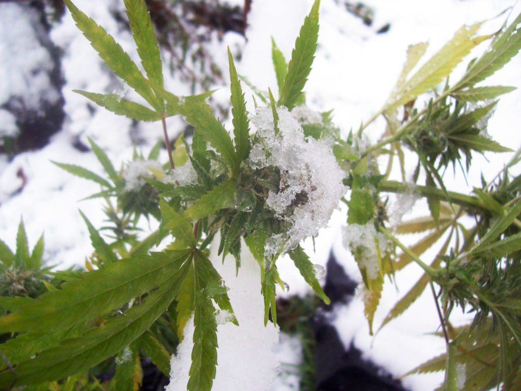 Indoor Cannabis Cultivation in Colder Conditions: How to Cope with Winter Weather