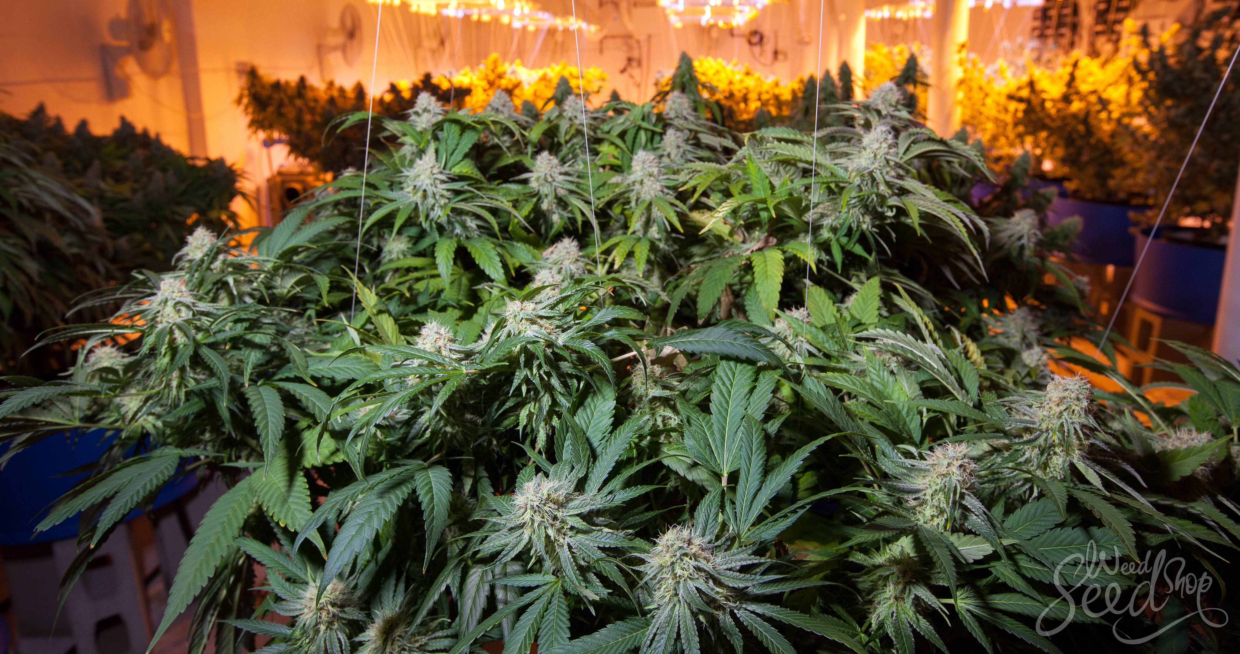 How to Grow Weed Fast and Harvest Early