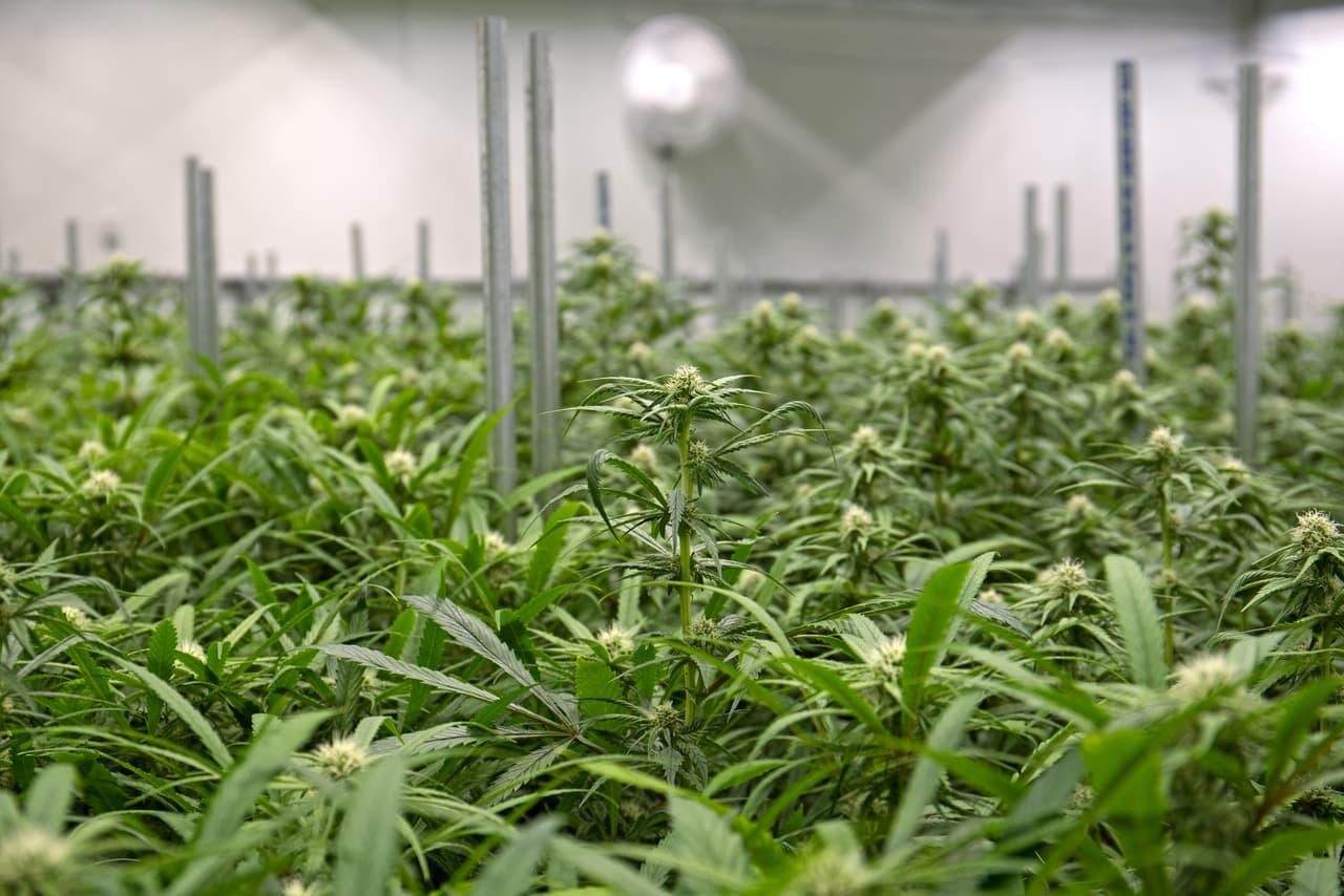 Steps For Growing Marijuana Indoors