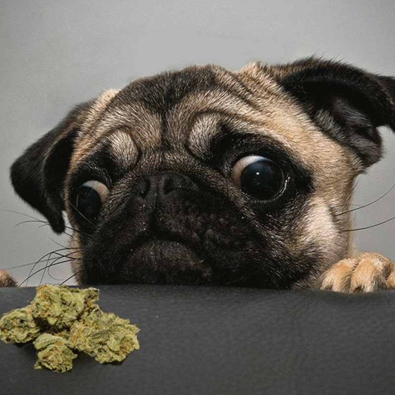 Planning to Give Your Pets Pot? Read This First: