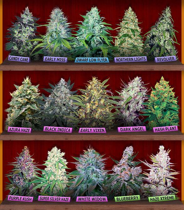 Varieties Of Cannabis Seeds For Sale Online
