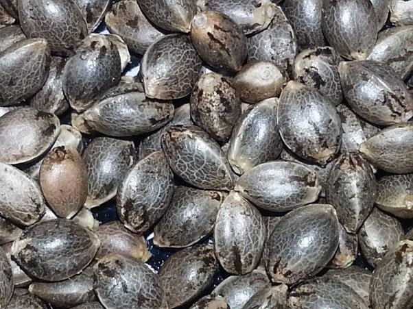 cannabis seeds medical