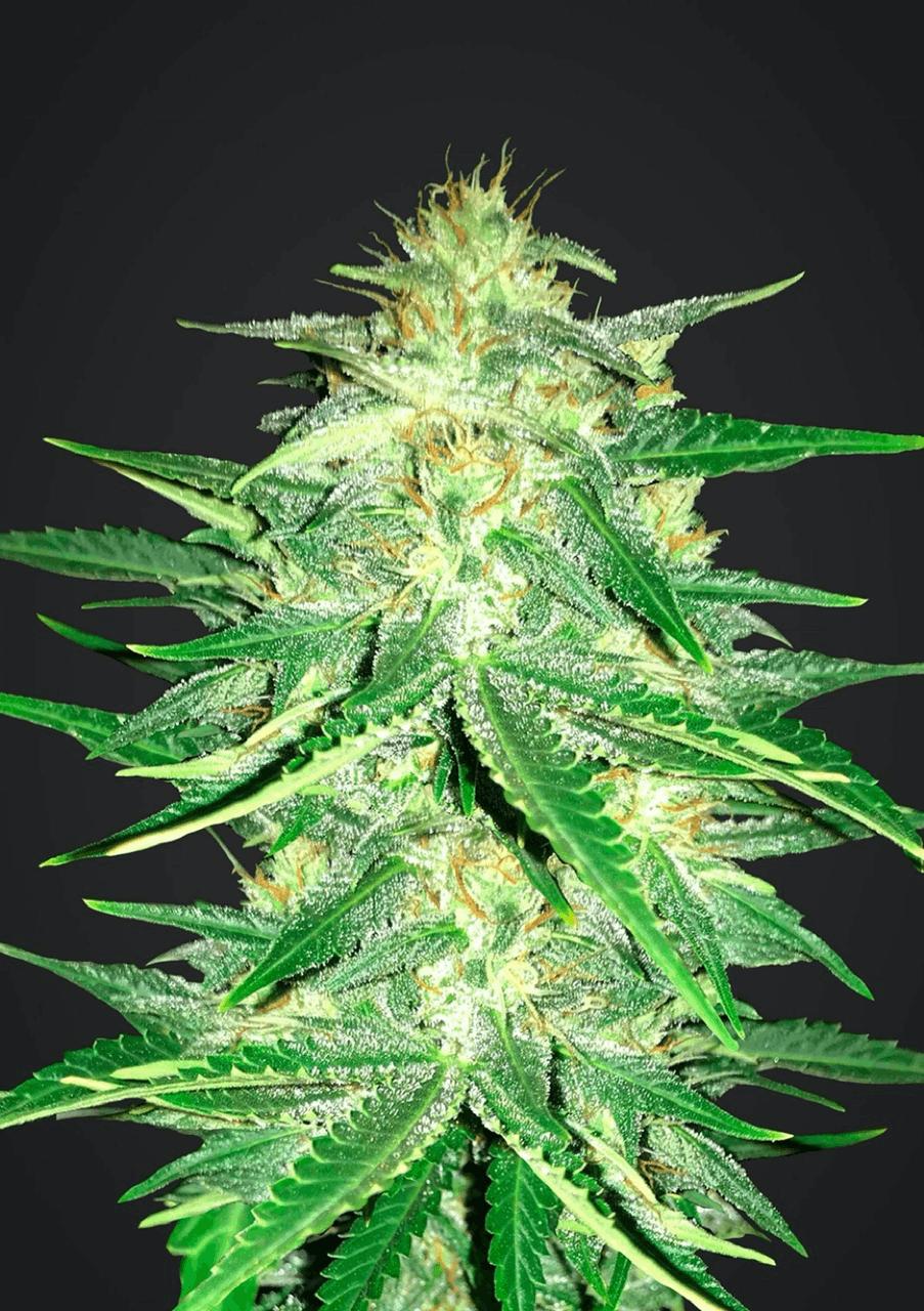 Auto Seeds cannabis