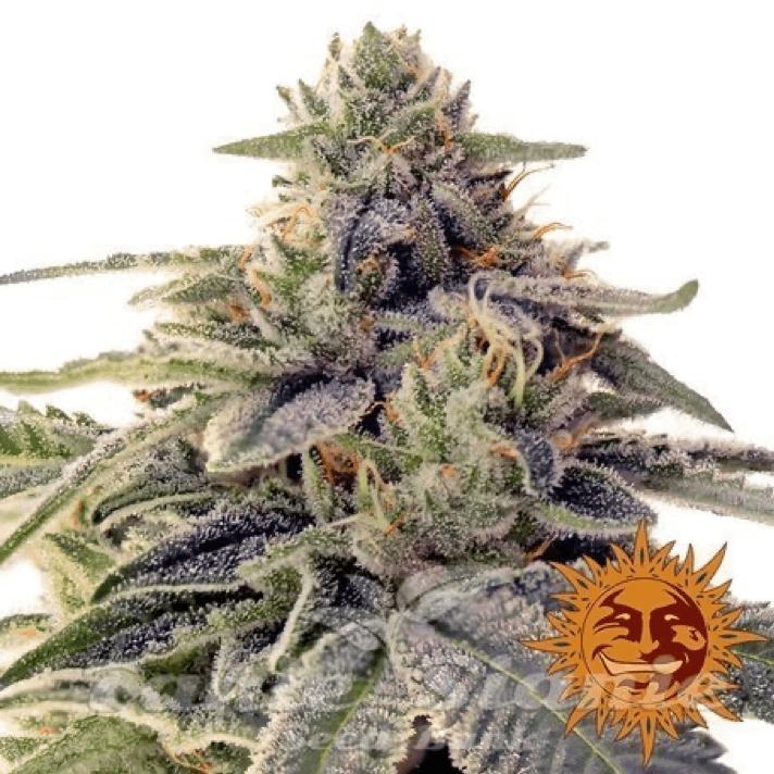 Barney's Farm cannabis