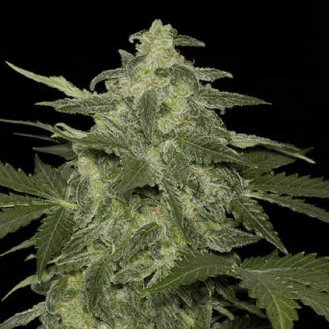 Black Skull Seeds cannabis