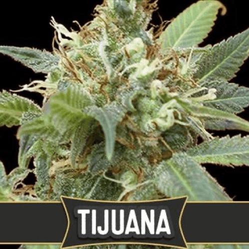 Blimburn Seeds - Tijuana cannabis strain
