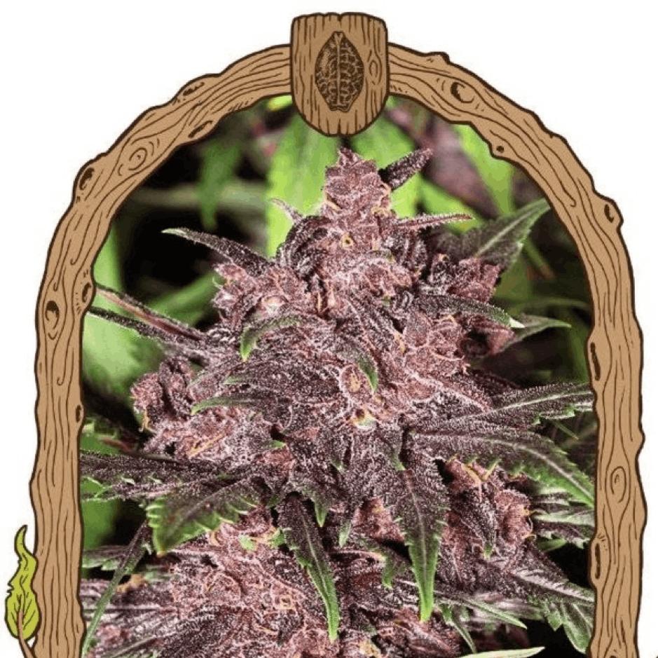 Exotic Seed - Black Haze