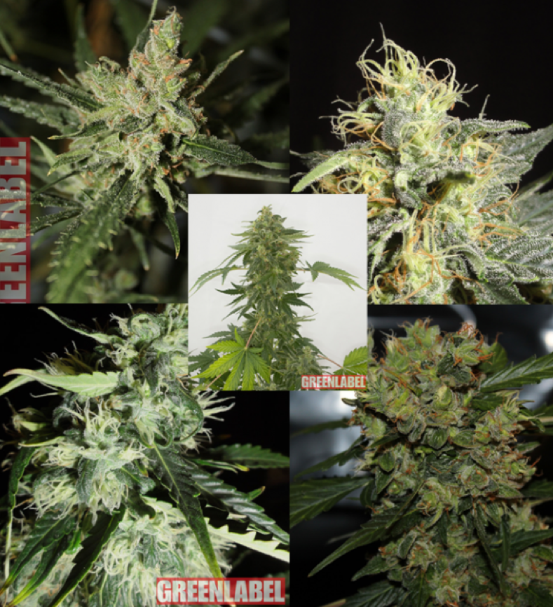 GreenLabel Seeds - Mix Pack Auto 2.0 Feminised Cannabis Seeds