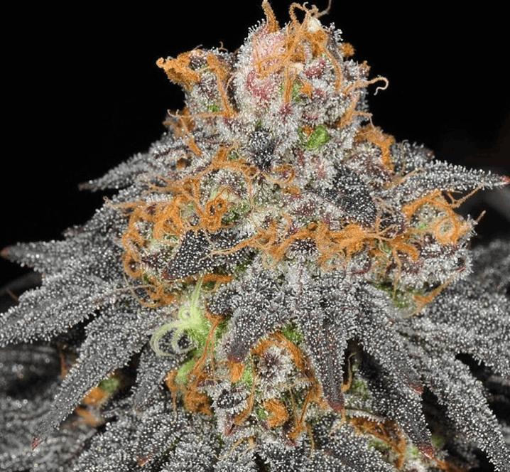 Haute Genetique - Raspberry Cookies