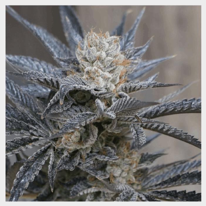 HortiLab Seeds - StarBud Sister