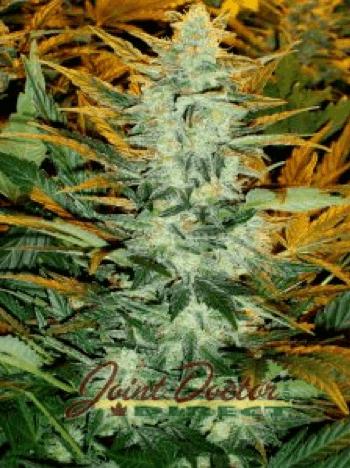 Joint Doctor - Lowryder Seeds - Lowryder