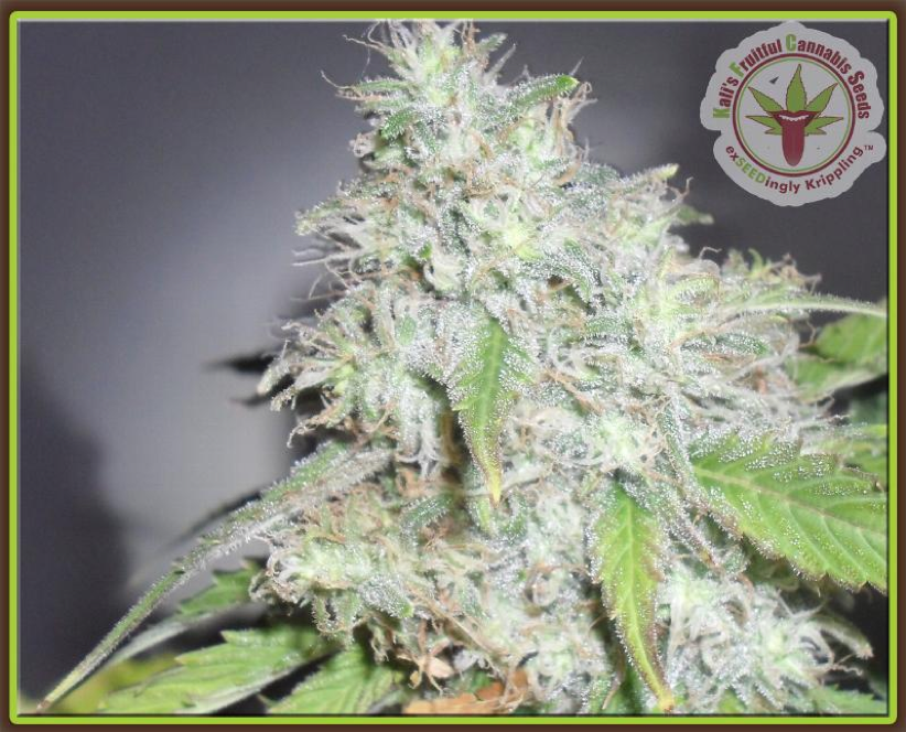 Kali's Fruitful Cannabis Seeds - Kali's White Shadow