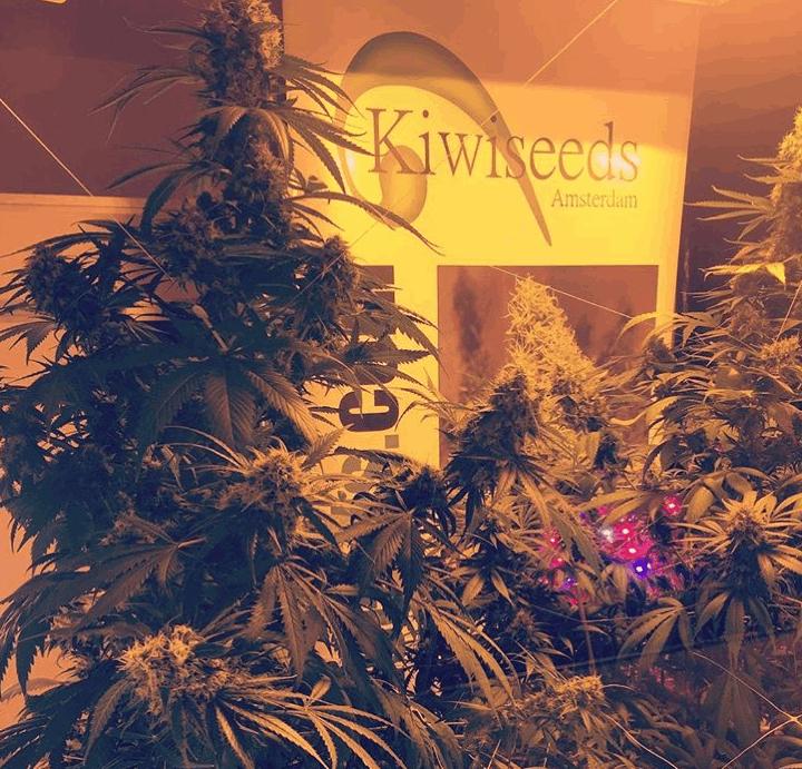 Kiwi Seeds cannabis