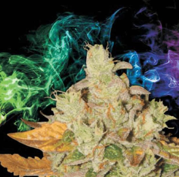 Lady Sativa Genetics - Orange Diesel V3 Haze