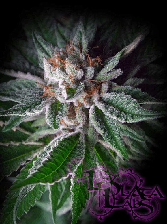 LaPlata Labs Seeds - Durango OG