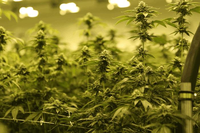 Marijuana plants, Magus Genetics