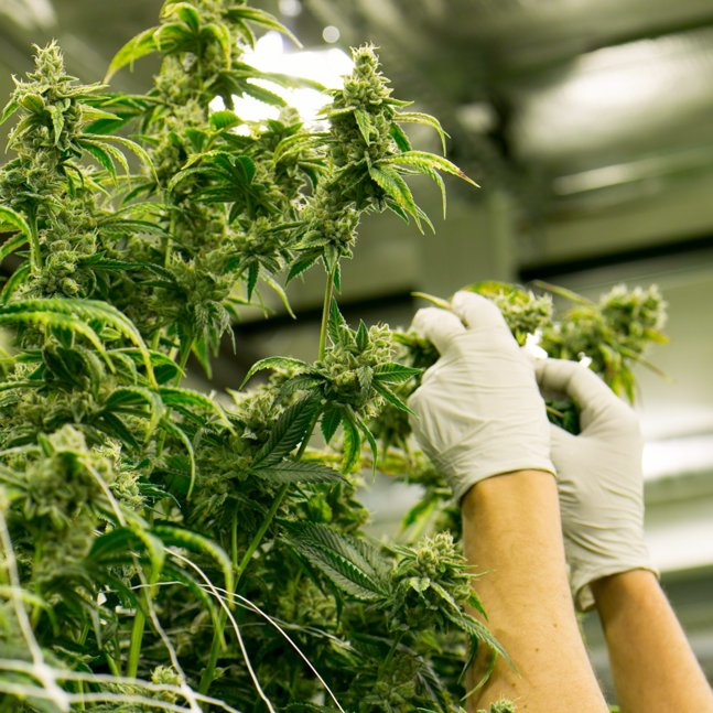 Medicann Seeds breeders inspecting cannabis plant