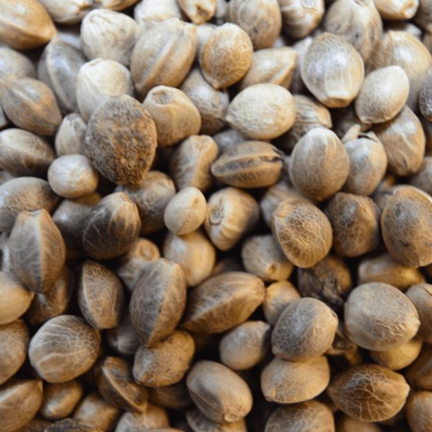Medicinal cannabis seeds from Medicann Seeds