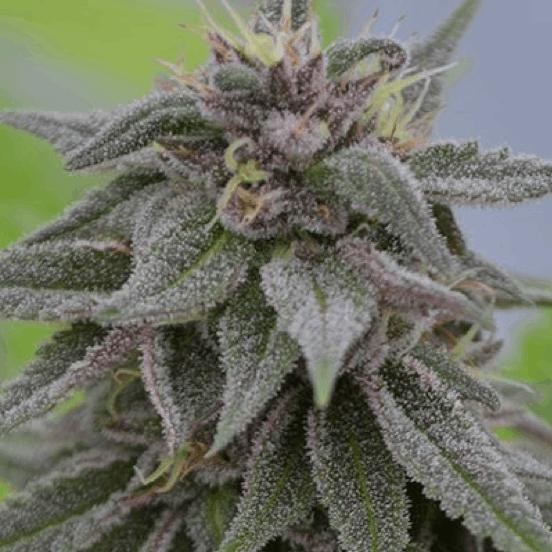 Medicann Seeds medicinal cannabis