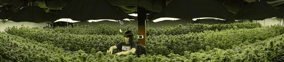 Medical Seeds cannabis large grow