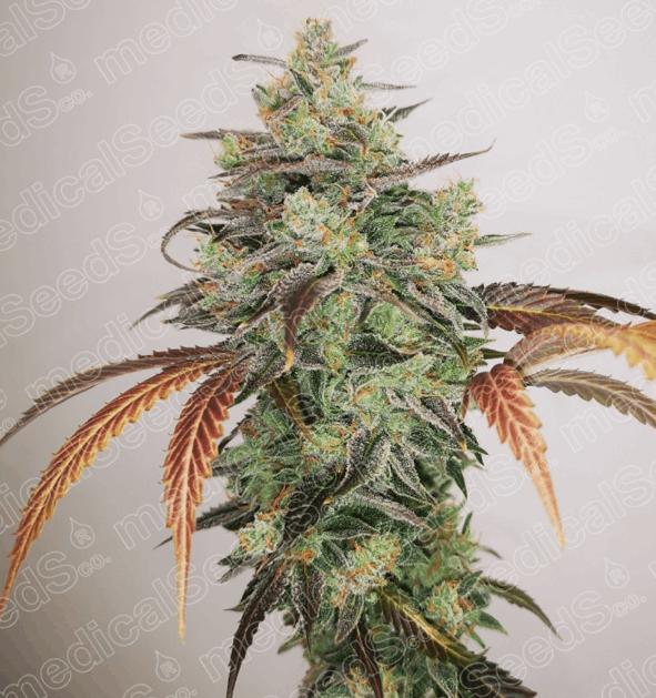 Medical Seeds - Y Griega 2.0
