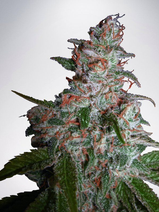 Ministry of Cannabis - Northern Lights feminized