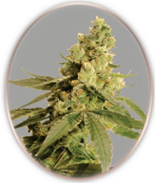 Norstar Genetics cannabis