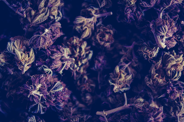 Original Delicatessen Seeds cannabis, green and Purple Kush