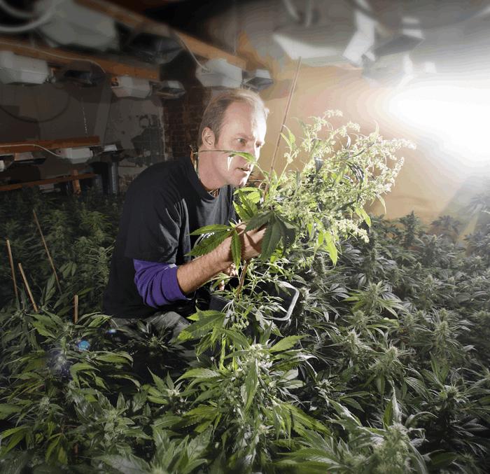 Paradise Seeds - Luc tends cannabis plants