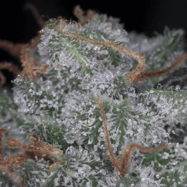 Paradise Seeds - Nebula