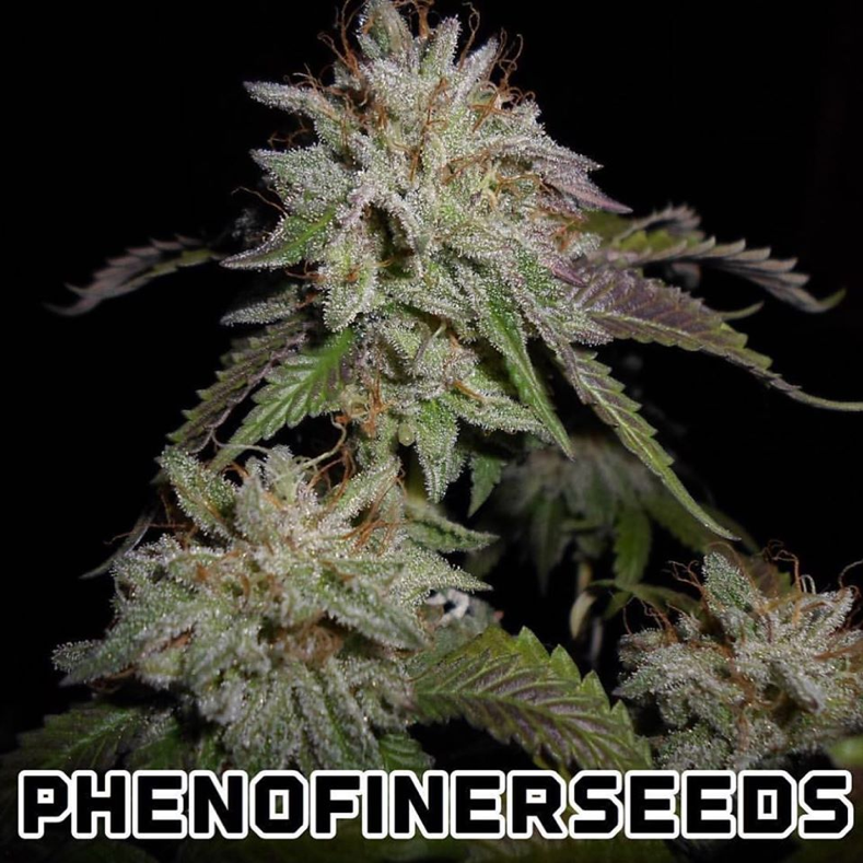 Pheno Finder Seeds - Sherbert S1