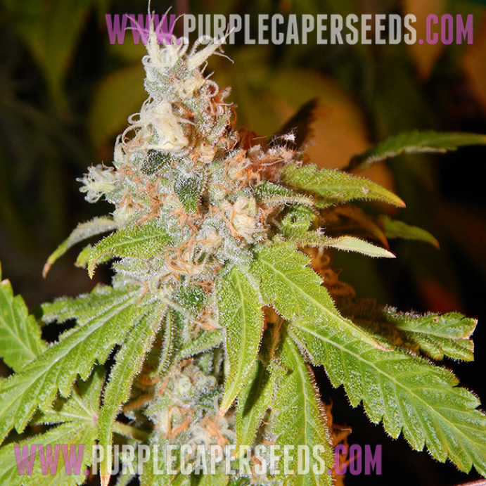 Purple Caper Seeds - Cookie Lady